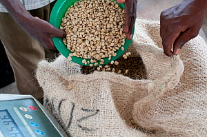 Workers pouring and weighing Coffee (Coffea arabica) beans, Commercial coffee farm, Tanzania, East Africa. Model released.  -  Cheryl-Samantha  Owen