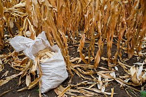 Harvested Maize (Zea mays) cobs in field. Commercial farm, Tanzania, East Africa. - Cheryl-Samantha  Owen