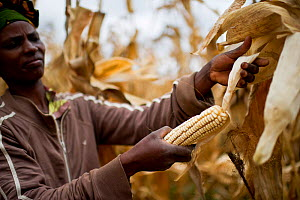 Woman harvesting Maize (Zea mays) cobs on commercial farm, Tanzania, East Africa. October 2012.  -  Cheryl-Samantha  Owen