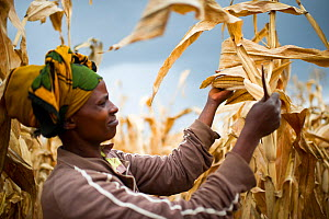 Woman harvesting Maize (Zea mays) cobs on commercial farm, Tanzania, East Africa. October 2012. Model released.  -  Cheryl-Samantha  Owen
