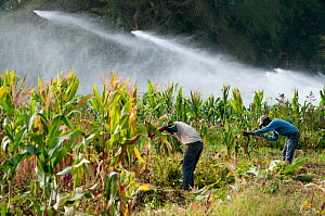 Men cutting down the dried stalks of harvested baby Corn (Zea mays) for cattle fodder, irrigation system visible in the background. Commercial farm, Tanzania, East Africa. September 2011. Model releas...  -  Cheryl-Samantha  Owen