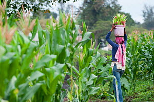 Woman carrying harvested baby Corn (Zea mays) in a bucket on her head. Commercial farm, Tanzania, East Africa. October 2011.  -  Cheryl-Samantha  Owen