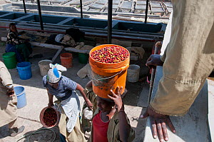 Women carrying harvested Coffee (Coffea arabica) cherries to factory for processing. Commercial coffee farm, Tanzania, East Africa. October 2011. - Cheryl-Samantha  Owen