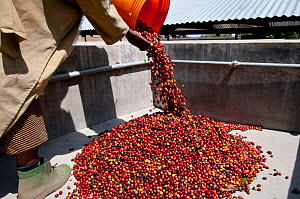 Worker pouring Coffee (Coffea arabica) cherries into pre-pulping tank. Commercial coffee farm, Tanzania, East Africa.  -  Cheryl-Samantha  Owen