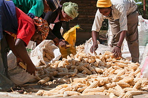 Women sorting Maize (Zea mays) cobs, removing rejects before the cobs are shelled. Commercial farm, Tanzania, East Africa. October 2011.  -  Cheryl-Samantha  Owen