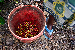 Woman stood with bucket of harvested Coffee (Coffea arabica) cherries on commercial coffee farm, Tanzania, East Africa. - Cheryl-Samantha  Owen