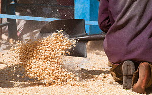 Man shoveling Maize (Zea mays) corn into a pile after the corn has been shelled (removed from the cob). Commercial farm, Tanzania, East Africa.  -  Cheryl-Samantha  Owen