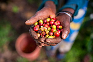 An elderly woman holding Coffee (Coffea arabica) cherries she has harvested. Commercial coffee farm, Tanzania, East Africa. - Cheryl-Samantha  Owen