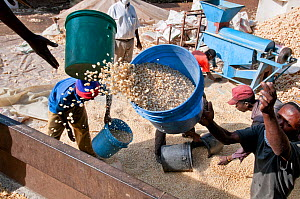Men throwing buckets of shelled Maize (Zea mays) corn onto a lorry. Commercial farm, Tanzania, East Africa. October 2011.  -  Cheryl-Samantha  Owen