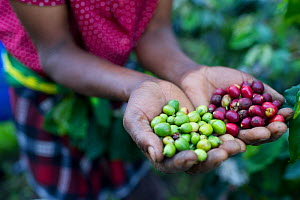 Woman holding harvested Coffee (Coffea arabica) cherries, commercial coffee farm, Tanzania, East Africa. - Cheryl-Samantha  Owen