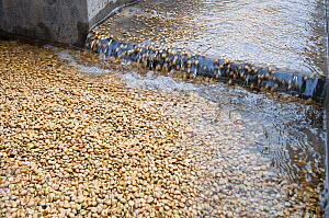 Coffee (Coffea arabica) beans washed to remove the mucilage (viscous substance) after fermentation. Commercial coffee farm, Tanzania, East Africa. - Cheryl-Samantha  Owen