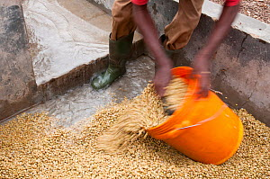 Man collecting Coffee (Coffea arabica) beans after they have been washed, the mucilage (viscous substance) removed, the beans fermented and the light and heavy beans separated. Commercial coffee farm,... - Cheryl-Samantha  Owen