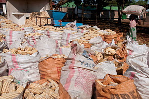 Numerous bags of Maize (Zea mays) cobs with woman carrying a bag on her head. Commercial maize farm, Tanzania, East Africa. October 2011. - Cheryl-Samantha  Owen