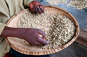 Dried parchment Coffee (Coffea arabica) beans, woman removing  discoloured beans. Commercial coffee farm, Tanzania, East Africa. - Cheryl-Samantha  Owen