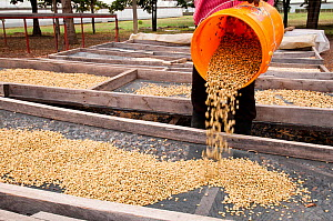 Coffee (Coffea arabica) beans drying on trays outside after fermentation, washing and sorting. Commercial farm, Tanzania, East Africa. - Cheryl-Samantha  Owen