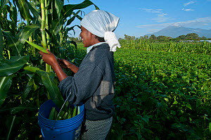 Woman harvesting baby Corn (Zea mays) on commercial farm, field of green beans and Mount Meru visible beyond. Tanzania, East Africa. December 2010.  -  Cheryl-Samantha  Owen