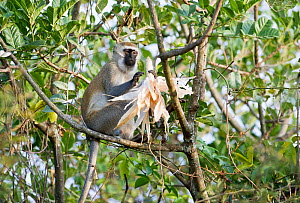 Vervet monkey (Chlorocebus pygerythrus) eating Maize (Zea mays) corn on the cob. Commercial farm, Tanzania, East Africa. Farm workers are employed to scare the monkeys away from the crops, but some mo...  -  Cheryl-Samantha  Owen