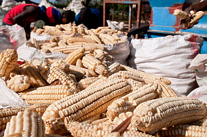 Bags of Maize (Zea mays) cobs ready for shelling. Commercial maize farm, Tanzania, East Africa.  -  Cheryl-Samantha  Owen