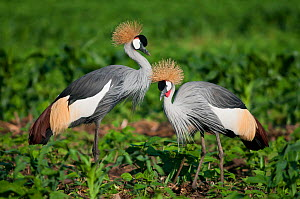 Two Grey crowned cranes (Balearica regulorum gibbericeps) foraging on a commercial green bean farm, Tanzania, East Africa.  -  Cheryl-Samantha  Owen