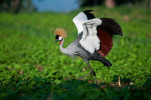 Grey crowned crane (Balearica regulorum gibbericeps) foraging on a commercial green bean farm, Tanzania, East Africa.  -  Cheryl-Samantha  Owen
