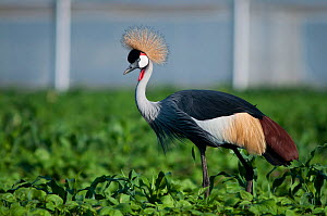 Grey crowned crane (Balearica regulorum gibbericeps) foraging in a bean field, Tanzania, East Africa.  -  Cheryl-Samantha  Owen