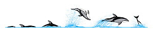 Illustration of the diving and breaching behaviour of a Pacific White-Sided Dolphin (Lagenorhynchus obliquidens).  -  Rebecca Robinson