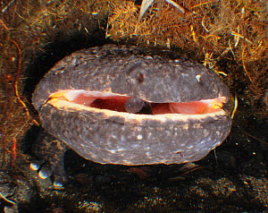 Japanese giant salamander (Andrias japonicus) male with own young in mouth. Hino river, Nichinan-chou, Tottori, Japan, March.  -  Yukihiro  Fukuda