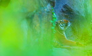 Indochinese tiger (Panthera tigris corbetti) looking up, behind screen of leaves, captive, occurs in South East Asia - Juan  Carlos Munoz