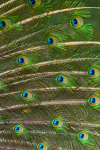 Indian peafowl (Pavo cristatus) close up of feathers, captive, occurs in South Asia.  -  Juan  Carlos Munoz