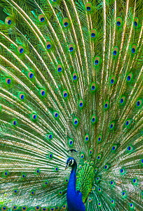 Indian peafowl (Pavo cristatus) peacock displaying feathers, captive, occurs in South Asia.  -  Juan  Carlos Munoz