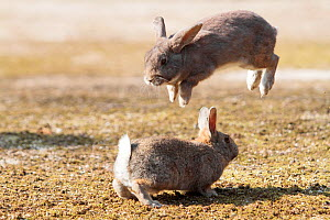 Feral domestic rabbit (Oryctolagus cuniculus) males fighting one leaping into the air, Okunojima Island, also known as Rabbit Island, Hiroshima, Japan.  -  Yukihiro  Fukuda