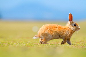 Feral domestic rabbit (Oryctolagus cuniculus) running, Okunojima Island, also known as Rabbit Island, Hiroshima, Japan.  -  Yukihiro  Fukuda