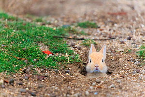 Feral domestic rabbit (Oryctolagus cuniculus) baby poking head out of burrow. Okunojima Island, also known as Rabbit Island, Hiroshima, Japan.  -  Yukihiro  Fukuda