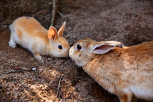 Feral domestic rabbit (Oryctolagus cuniculus) mother and baby nose to nose, Okunojima Island, also known as Rabbit Island, Hiroshima, Japan.  -  Yukihiro  Fukuda