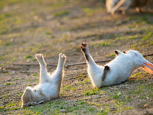 Feral domestic rabbit (Oryctolagus cuniculus) baby rabbits, fallen over during play fight, Okunojima Island, also known as Rabbit Island, Hiroshima, Japan.  -  Yukihiro  Fukuda