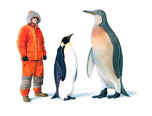 Illustration of extinct Mega Penguin (Palaeeudyptes klekowskii) with human and Emperor penguin (Aptenodytes forsteri) for scale. Mega Penguins were the largest and heaviest penguins ever,with this spe...  -  Chris Shields