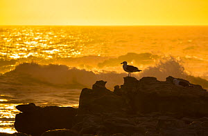 Kelp gull (Larus dominicanus) on rocky shore with crashing waves at sunset, Bird Island, Lambert's Bay, Western Cape province, South Africa, September 2012. - Juan  Carlos Munoz