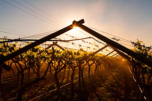 Vineyard with wire and wooden frame, Vanrhynsdorp, Western Cape province, South Africa, September 2012.  -  Juan  Carlos Munoz