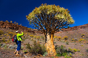 Hiker taking photo of Quiver Tree (Aloe dichotoma) Kokerboom Forest, Nieuwoudtville, Namaqualand, Northern Cape province, South Africa, September 2012.  -  Juan  Carlos Munoz