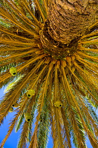 Masked weaverbird (Ploceus velatus) nests in palm tree, Namaqualand, Northern Cape province, South Africa, September 2012.  -  Juan  Carlos Munoz