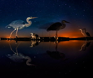 Herons at night on Lake Csaj, Kiskunsag National Park, Hungary. Winner of the Birds category, Wildlife Photographer of the Year (WPOY) Competition 2014.  -  Bence  Mate