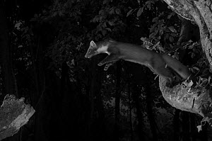 Pine marten (Martes martes) leaping from branch, taken at night with infra-red remote camera trap, France, June.  -  Eric  Medard