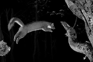 Pine marten (Martes martes) leaping from branch, taken at night with infra-red remote camera trap, France, April.  -  Eric  Medard