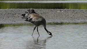 Male Common/Eurasian crane (Grus grus) 'Bart', released by the Great Crane project in 2010, walking and drinking from a shallow lake, Slimbridge, Gloucestershire, England, UK, May 2014. - Nick Upton