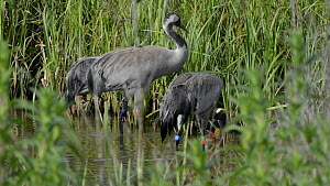 Two Common/Eurasian crane (Grus grus) chicks aged two days swimming with their parents 'Chris' and 'Monty', released by the Great Crane project in 2010, Slimbridge, Gloucestershire, England, UK, May 2...  -  Nick Upton