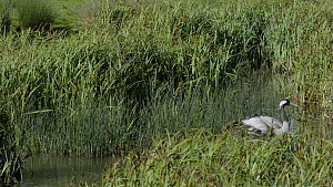 Female Common/Eurasian crane (Grus grus) 'Chris', released by the Great Crane project in 2010, chasing a Little egret (Egretta garzetta) that was too close to her nest, Slimbridge, Gloucestershire, En...  -  Nick Upton