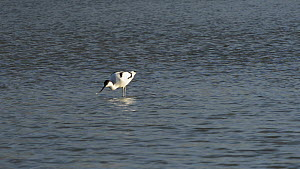 Avocet (Recurvirostra avosetta) foraging in a shallow lake, sweeping its bill through the water to filter feed, passing a pair of Gadwall (Anas strepera), and then preening and bathing, Gloucestershir... - Nick Upton