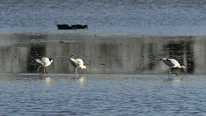 Two pairs of Avocets (Recurvirostra avosetta) foraging close to one another in a shallow lake, showing some territorial interaction, Gloucestershire, England, UK, March.  -  Nick Upton
