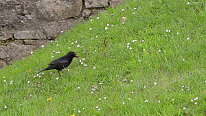Male Blackbird (Turdus merula) pulling up an Earthworm (Lumbricus terrestris) from a lawn, near Bude, Cornwall, England, UK, June.  -  Nick Upton