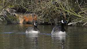 Pair of Canada geese (Branta canadensis) displaying and calling, Corsham Court, Wiltshire, England, UK, March. - Nick Upton